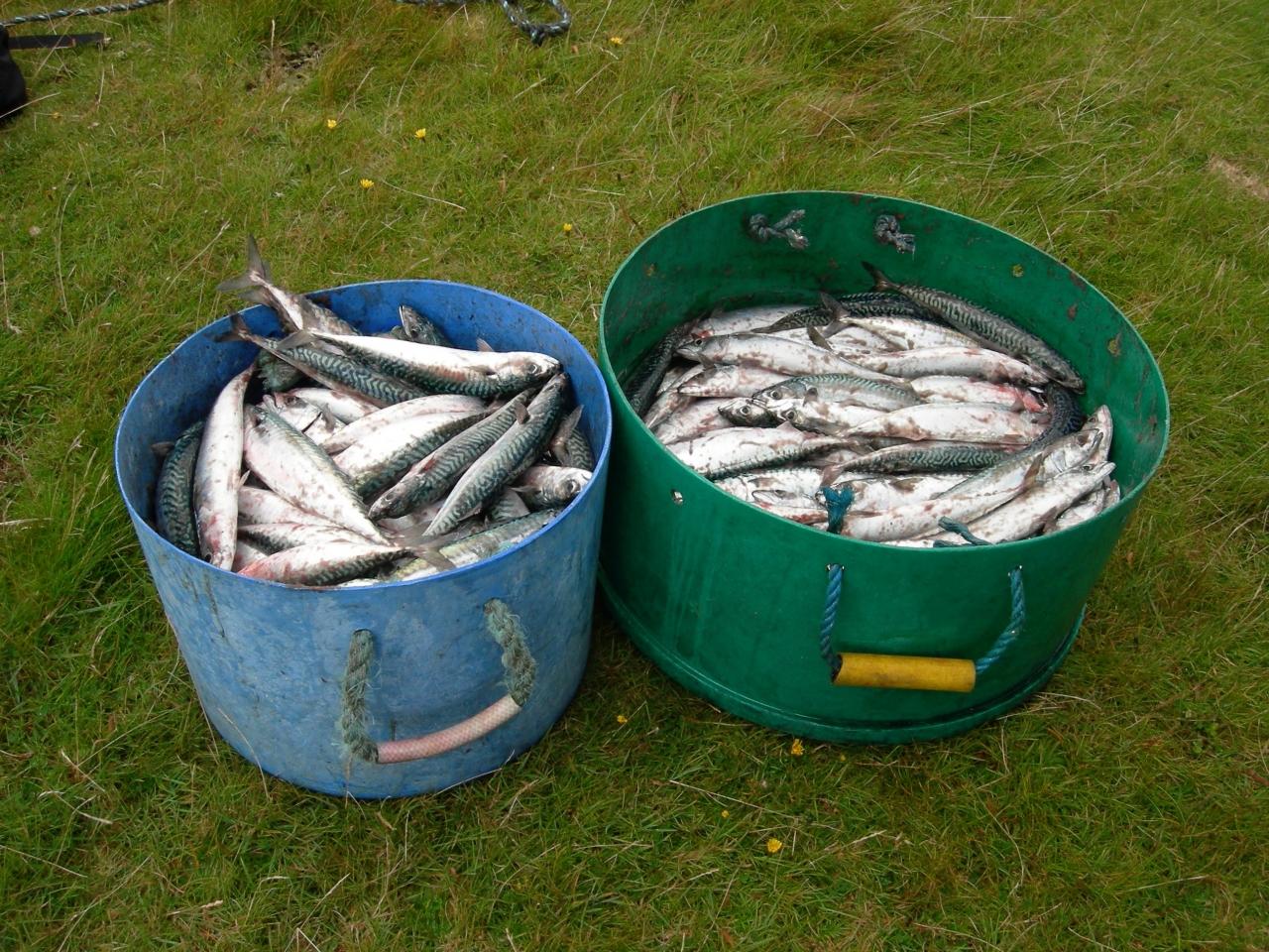 Catching Mackerel.
