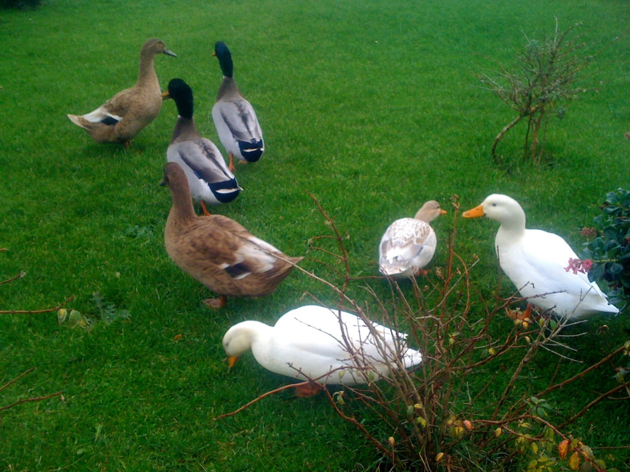...and a quack quack there...